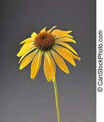 Yellow coneflower on gray background