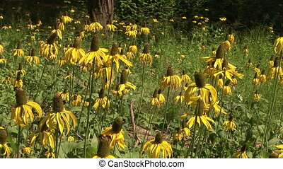 Yellow coneflower found in Yosemite National Park, California