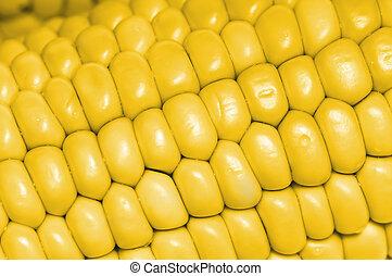 yellow corn cobs