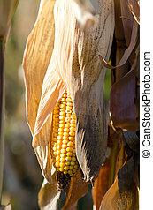 Yellow corn on a field