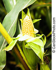 yellow corn - open sprout of the corn growing on an ...