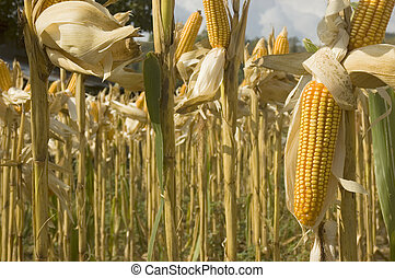 Yellow corn ready for harvest