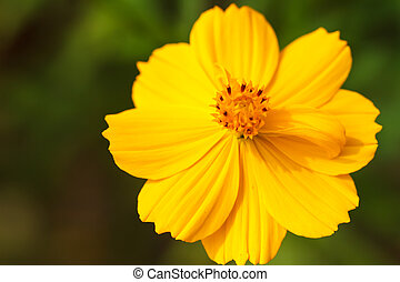 Yellow cosmos flower orange cosmo flower against the cloudy white yellow cosmos flower mightylinksfo