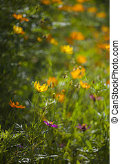 yellow cosmos flowers against blurry background with shallow...