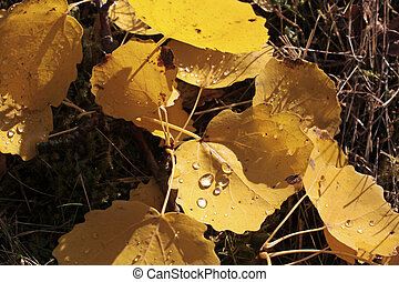 Yellow cottonwood leaves with morning dew