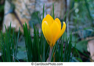 Yellow crocus flower in a garden