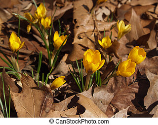 Yellow Crocus vernus in Dried Leaves - a group of yellow...