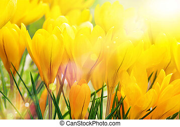 Yellow crocuses in beautiful sunlight