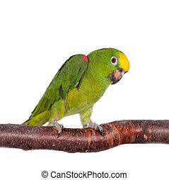 Yellow-crowned amazon isolated on white - Yellow-crowned...