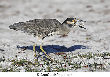 Yellow-crowned Night Heron eating a crab on a Florida beach