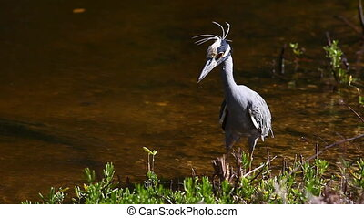 Yellow Crowned Night Heron hunting - Yellow Crowned Night ...