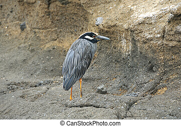 Yellow-crowned Night Heron of the Galapagos Islands
