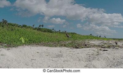 yellow-crowned night heron on beach