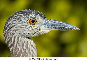Yellow-crowned Night Heron Profiel Close-up