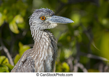 Yellow-crowned Night Heron Profile Close-up