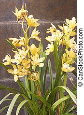 Cymbidium in pot. Flower and stem boat orchid