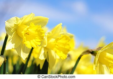 flower - yellow daff or jonquil flower in spring with...