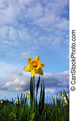 yellow daffodil blue sky