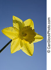 Yellow Daffodil - Daffodil in spring with blue sky