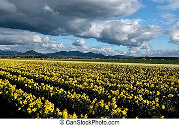 Yellow daffodil fields in bloom under blue sky.