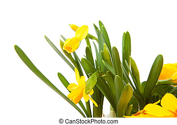 Yellow Daffodil flower in closeup over white background