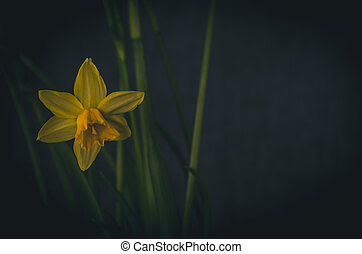 yellow daffodil flower