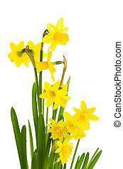 Yellow daffodil flowers in full bloom
