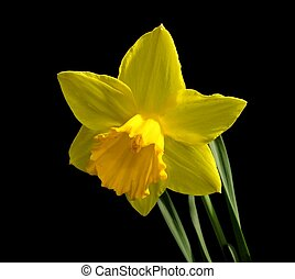 Yellow Daffodil - Narcissus \'Carlton\'