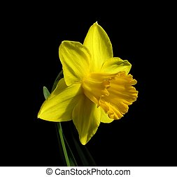 Yellow Daffodil - Narcissus \'Carlton\'