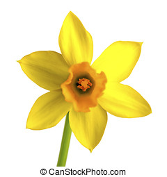 yellow daffodil, narcissus isolated on white background