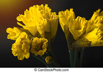 Yellow daffodil on a black background. Flowering of flowers. Copy space