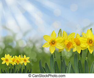 yellow daffodil spring background