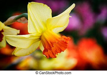 Yellow daffodil - Spring flowers. Macro of yellow daffodil