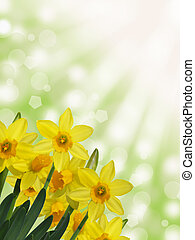 yellow daffodil sunny background
