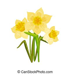 Yellow daffodil. Vector illustration on a white background.