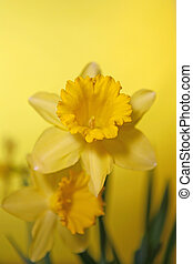Yellow Daffodil With Extreme Depth of Field
