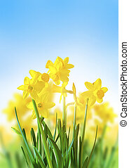 Yellow Daffodils Against a Blue Sky