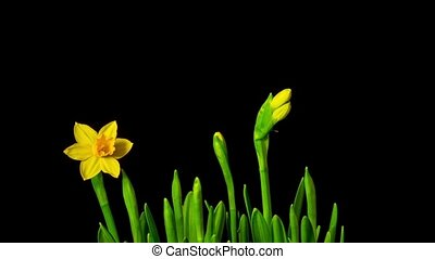 Yellow daffodils bloom, time-lapse