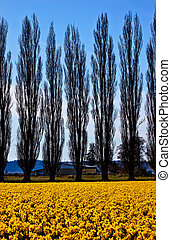Yellow Daffodils, Cypress Trees, Farm, Flowers Skagit Valley Washington State Pacific Northwest