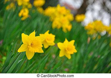 Yellow daffodils flowers in garden of Fulda, Hessen, Germany