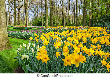 Yellow Daffodils Flowers in Keukenhof Garden