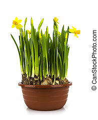 Yellow daffodils in a pot  isolated on a white background