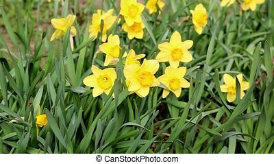 Yellow daffodils in a spring field in the wind