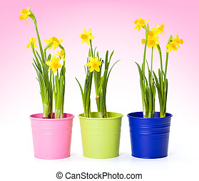Yellow daffodils in colorful pails