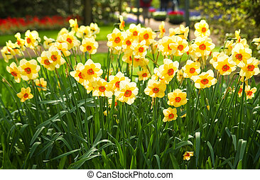 Yellow daffodils in park in spring