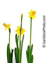 Yellow Daffodils in spring