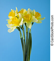 yellow daffodils on a blue background close-up