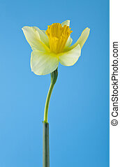 yellow daffodils on a blue background