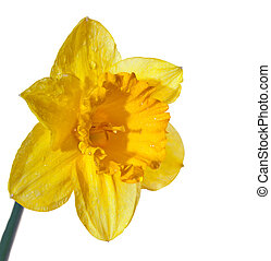 Yellow daffodils on white background isolated