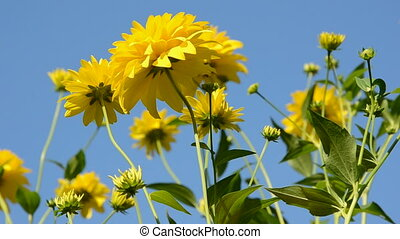 yellow dahlia blossoms and wind